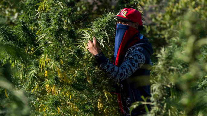 Cannabis cultivation provides an income for 90,000 households in northern Morocco. [AFP]